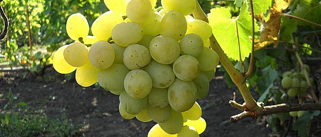 Раннесредний cорт винограда Эмигрант от -Бурдак А. В. фото id: 1331919436
