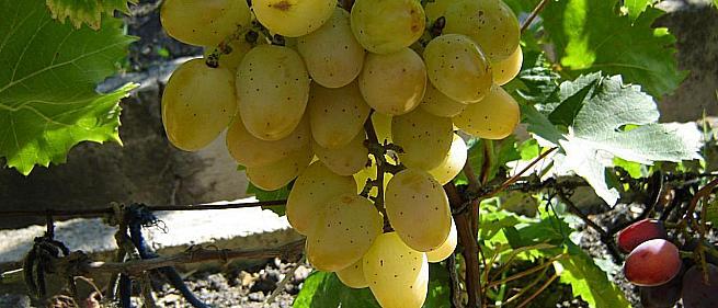 Ранний cорт винограда Новороссия (муза) от -Воронюк И. Н. фото id: 1594342217
