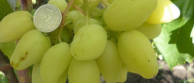Очень ранний cорт винограда Бананас от Пысанка О.М. фото id: 46510263