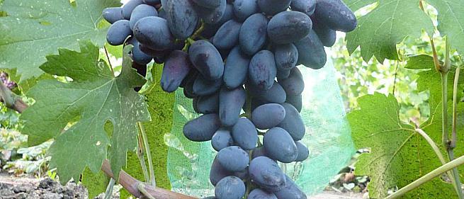 Сорта и гибридные формы винограда от Голуб