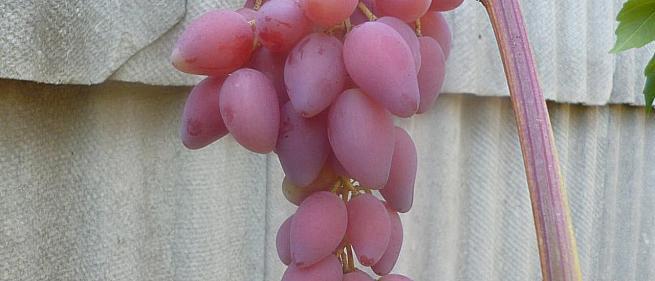 Очень ранний cорт винограда Акэло от -Гусев Сергей Эдуардович фото id: 1573332451