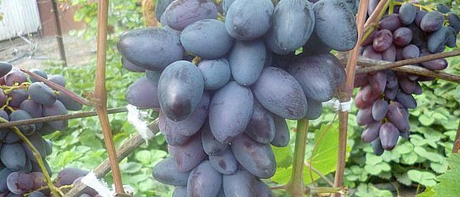 Очень ранний cорт винограда Арабела от -Гусев Сергей Эдуардович фото id: 2113683765