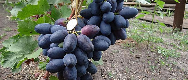 Столовые сорта и ГФ винограда.