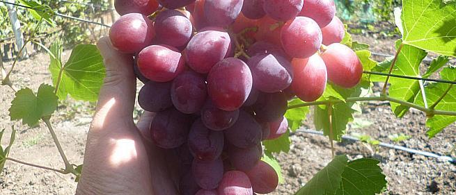 Ранний cорт винограда Авалон от -Литвинов Г. М. фото id: 394573866
