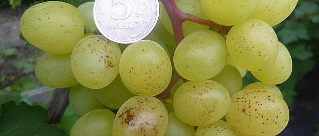 Очень ранний cорт винограда Цимус от -Кишмиши фото id: 464003689
