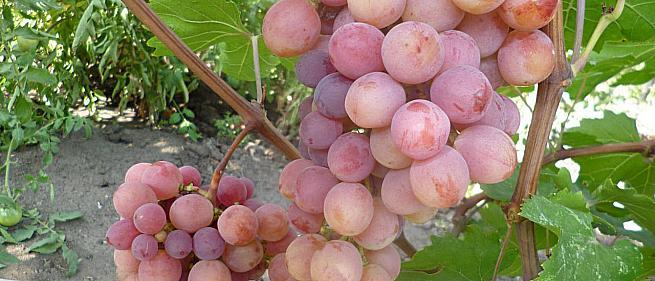 Сорта и гибридные формы винограда от Вишнецкого