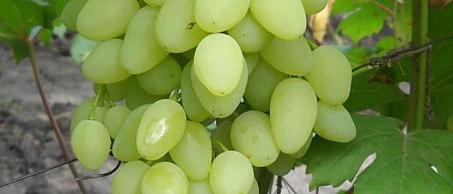 Очень ранний cорт винограда  Долгожданный от -Крайнов В. Н. фото id: 36473483