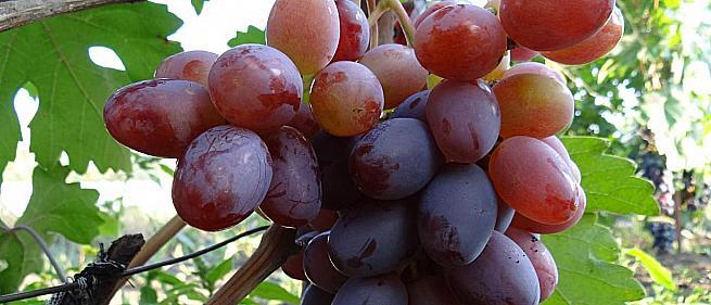 Раннесредний cорт винограда  Фавор от -Крайнов В. Н. фото id: 677914793