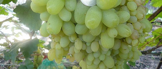 Очень ранний cорт винограда Гелиодор от -Кишмиши фото id: 642703469