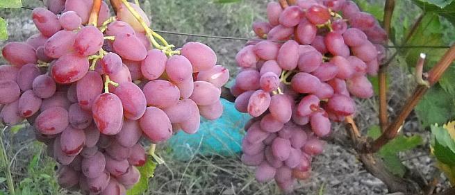 Ранний cорт винограда  Гелиос от -Крайнов В. Н. фото id: 1899623434