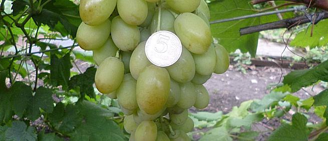 Ранний cорт винограда Иллария от -Загорулько В. В. фото id: 1147046006