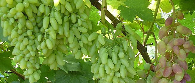 Ранний cорт винограда Кишмиш Столетие от -Кишмиши фото id: 241817236