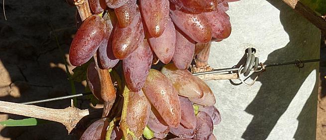 Ранний cорт винограда Империал от -Гусев Сергей Эдуардович фото id: 2070982292