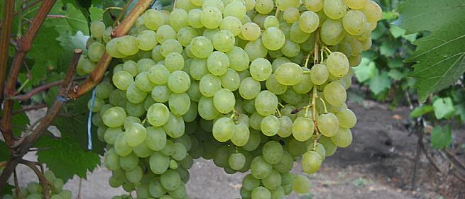 Ранний cорт винограда Кишмиш Русбол от -Кишмиши фото id: 1696059911