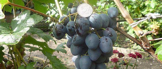 Очень ранний cорт винограда Кальмиус от -Карпушев А.В. фото id: 592706886