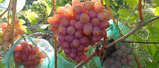 Очень ранний cорт винограда  Нежность от -Крайнов В. Н. фото id: 1570812232