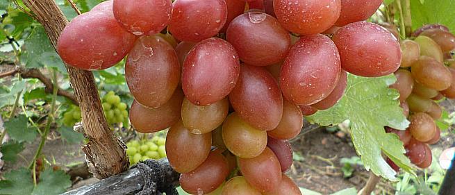 Раннесредний cорт винограда Подарок Ирине от -Вишневецкий фото id: 1111593592