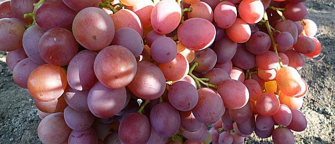 Фото №35 саженца черенка, винограда Ливия от Загорулько В. В.