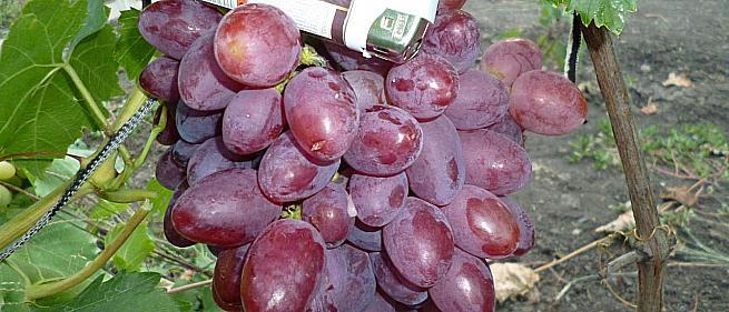 Ранний cорт винограда Прометей от -Загорулько В. В. фото id: 1939447303
