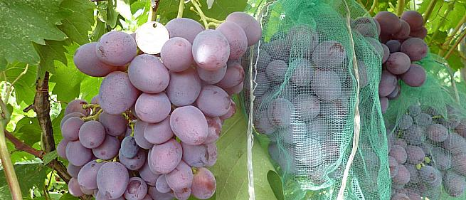 Ранний cорт винограда  Нинель от -Крайнов В. Н. фото id: 1255279155