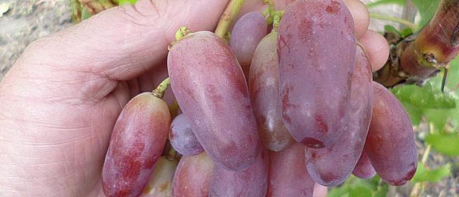Раннесредний cорт винограда Маникюр Фингерс от -Япония Китай фото id: 1863277784