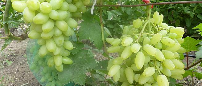 Ранний cорт винограда Вика от -Гусев Сергей Эдуардович фото id: 1699342989