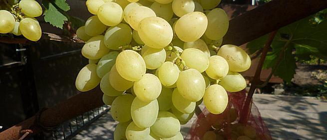 Очень ранний cорт винограда Лирика от -Криуля С.и Китайченко А. фото id: 2062668582