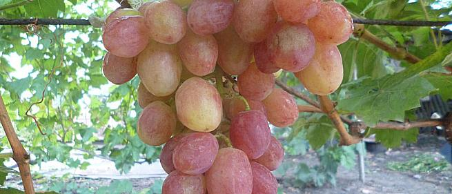 Ранний cорт винограда Дынька от -Пысанка О.М. фото id: 764108466