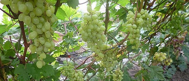Очень ранний cорт винограда Соломия от -Кишмиши фото id: 396892390