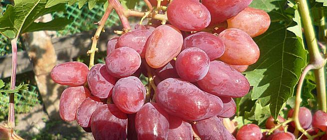 Очень ранний cорт винограда ЧЕРЕШНЕВЫЙ от -Пысанка О.М. фото id: 230160556