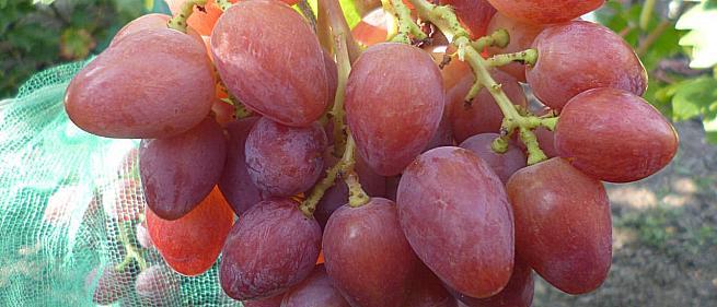 Очень ранний cорт винограда 21-28 от -Пысанка О.М. фото id: 607286773