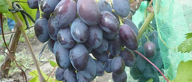 Ранний cорт винограда Каталония от -Бурдак А. В. фото id: 500294134