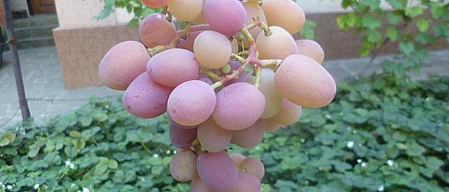 Очень ранний cорт винограда Красная планета от -Голуб фото id: 120601463