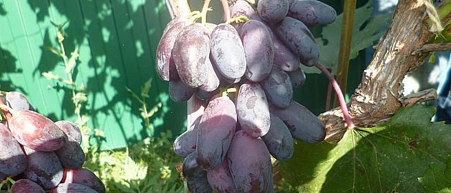 Очень ранний cорт винограда Натали от -Калугин В. М. фото id: 1830288155