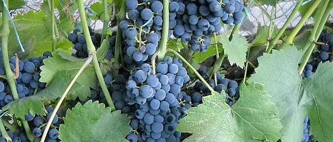 Раннесредний cорт винограда Регент от -Технические и винные фото id: 1328146249