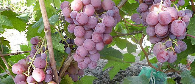 Раннесредний cорт винограда Рита от -Вишневецкий фото id: 531196756
