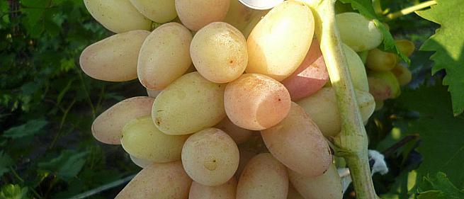 Ранний cорт винограда Роза ранняя от -Пысанка О.М. фото id: 120680685