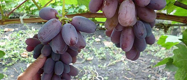 Средний cорт винограда Сентябрина от -Загорулько В. В. фото id: 2145749507