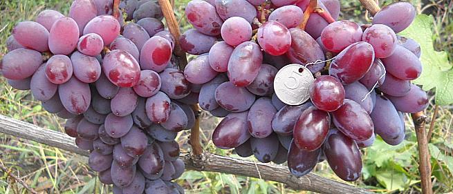 Раннесредний cорт винограда Велимир от -Литвинов Г. М. фото id: 1901773124