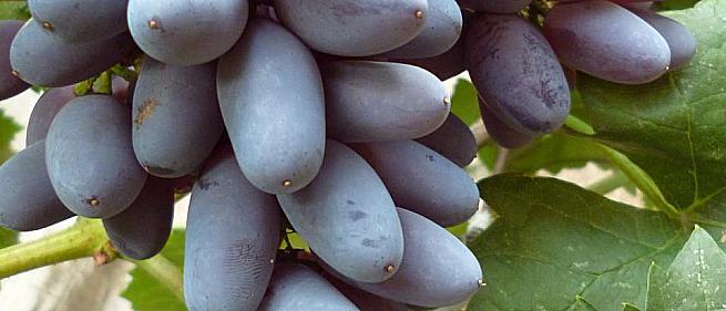 Ранний cорт винограда Кишмиш Юпитер от Кишмиши фото id: 1717687783