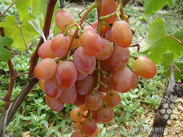 Ранний cорт винограда Эллис от -Карпушев А.В. фото id: 2028344302